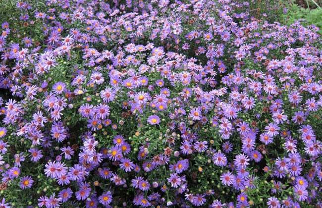 紫菀的种植技术