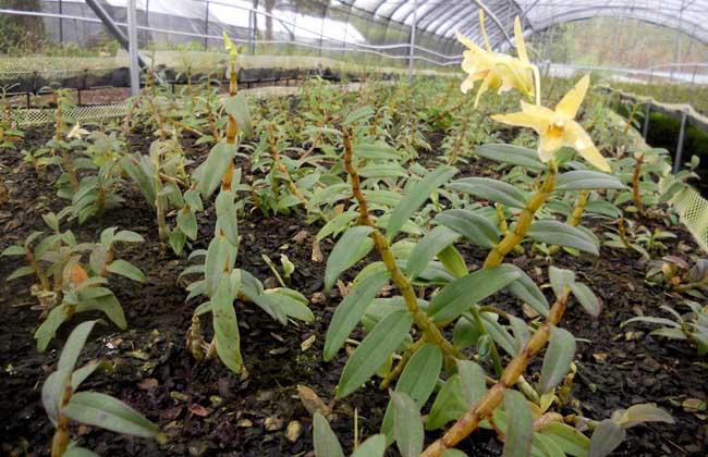 铁皮石斛种植成本