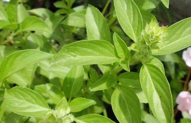 柠檬马鞭草种植技术