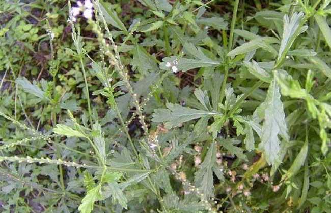 马鞭草的种植技术