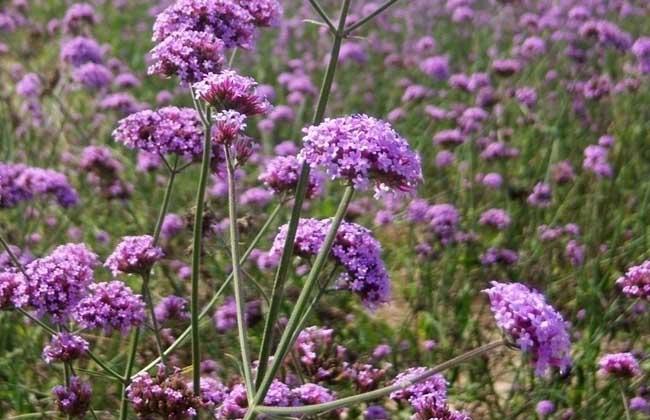 马鞭草什么时候开花?