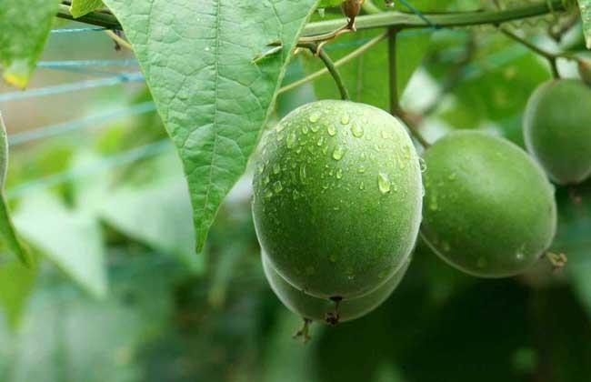 罗汉果种植技术