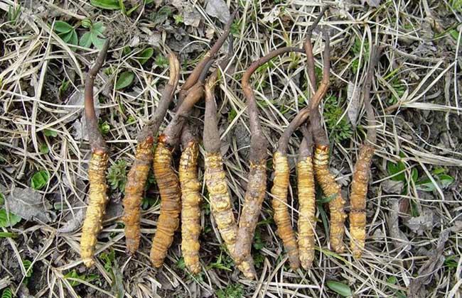 冬虫夏草是什么东西?