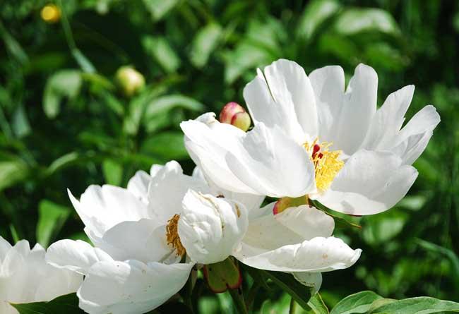 白芍种植技术