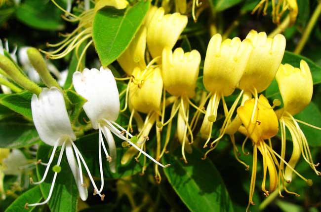 金银花种植前景如何?