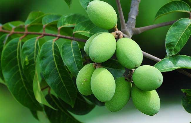 槟榔和橄榄的区别