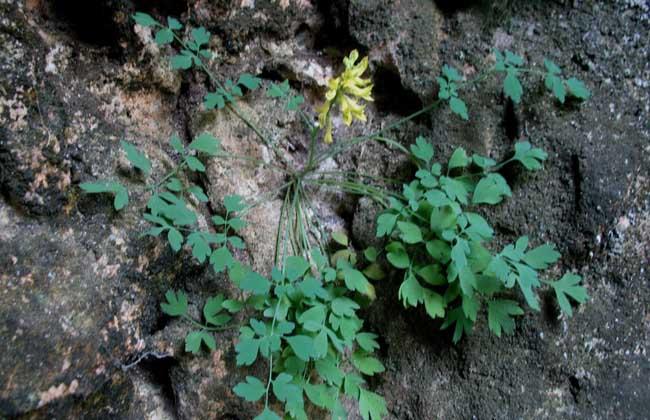 黄连和岩黄连的区别