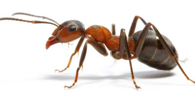 蚂蚁是不是昆虫?