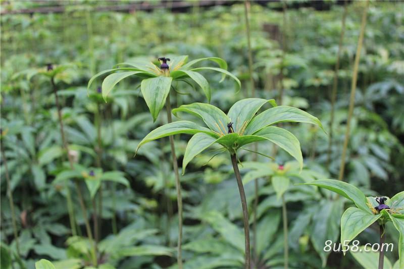 重楼种子种植多久可以发芽?