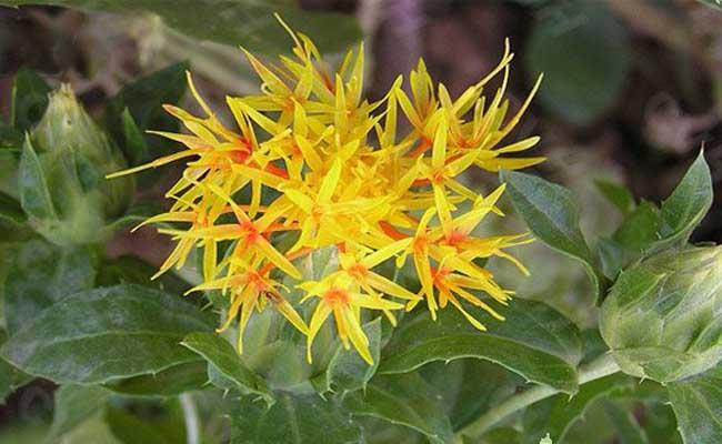 红花和西红花的区别有哪些?
