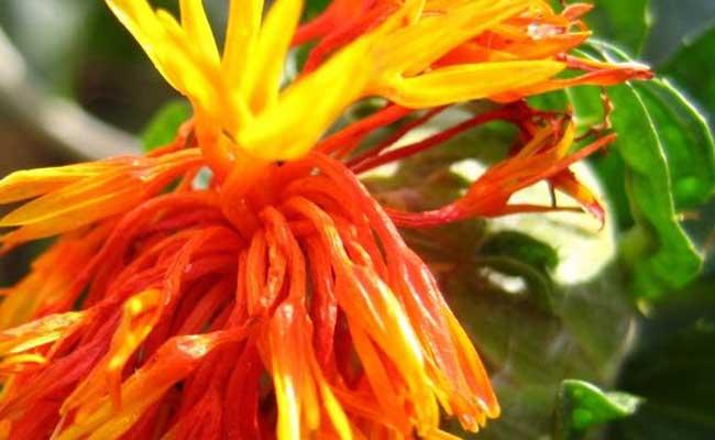 红花的种植条件