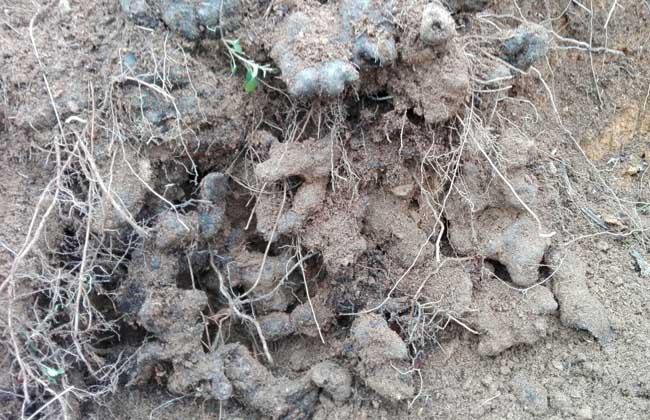 猪苓高产种植技术