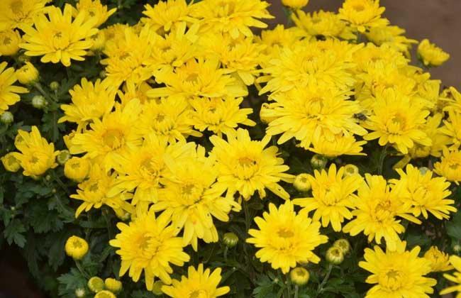 菊花有哪些颜色?