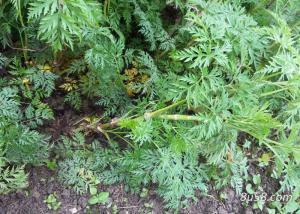 川芎适宜在海拔多高的地区种植?