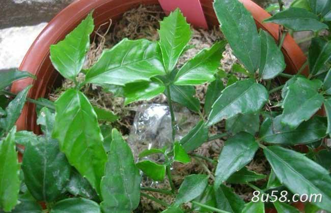 三叶青的种植技术
