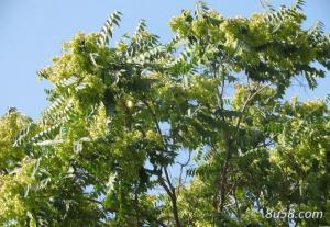 椿皮的繁殖方法有哪些?