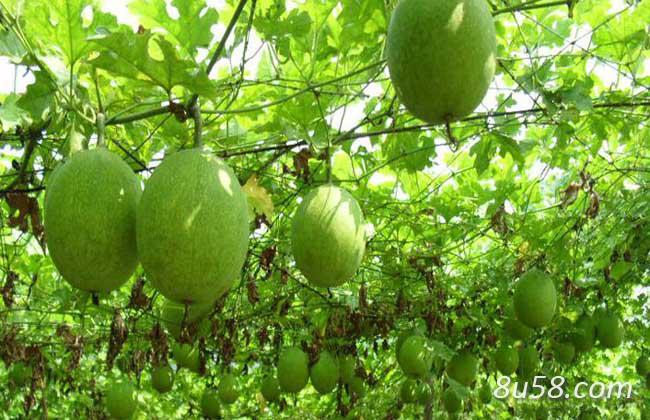 瓜蒌种子的种植方法