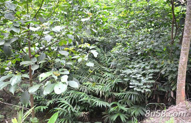 砂仁种子的种植方法