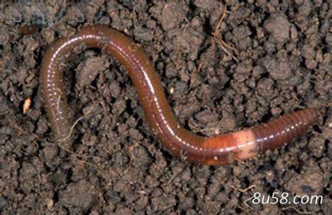 地龙(蚯蚓)的养殖技术