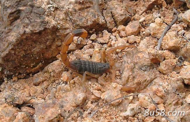 蝎子(全蝎)养殖基地的建设方法