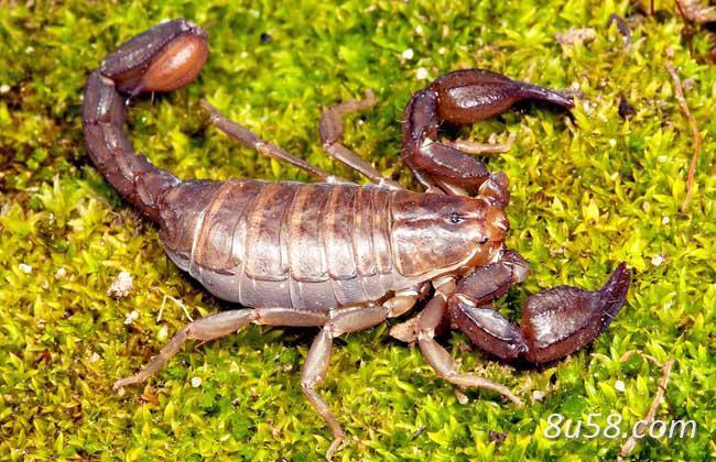 冬季蝎子(全蝎)疾病防治技术