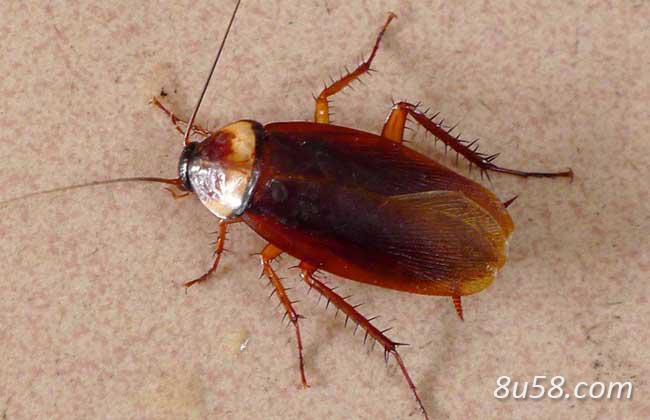 蟑螂养殖技术