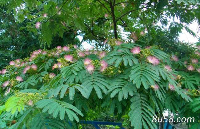 合欢花树苗的种植方法