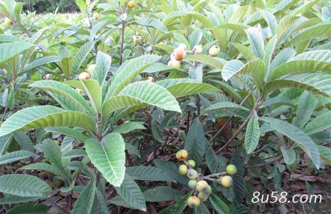 枇杷苗的种植方法