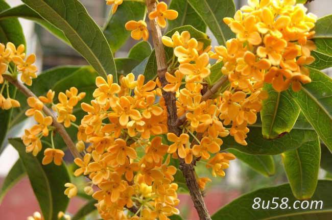 常见的桂花树有哪些品种?