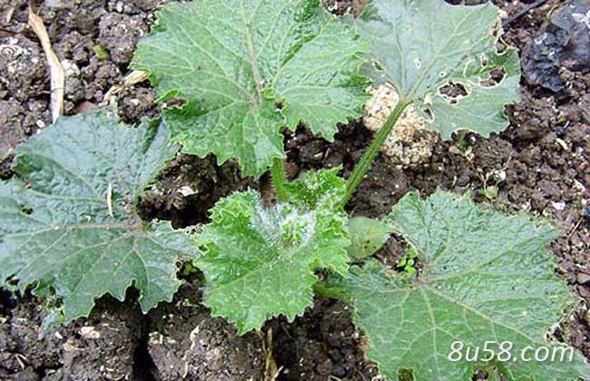 冬瓜子种子怎么种植?