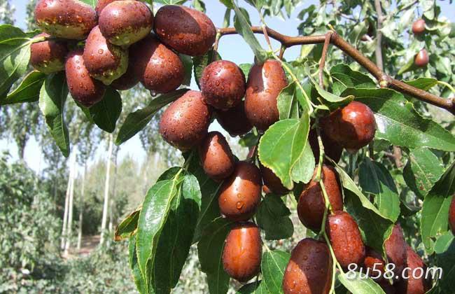 大枣树种植技术
