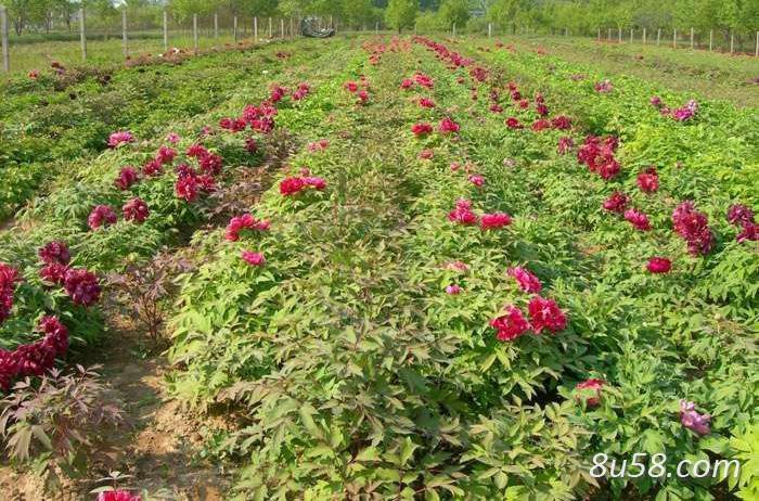 牡丹间作套种高产栽培技术