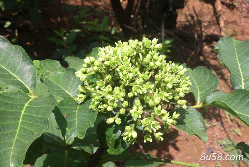 种植吴茱萸每亩收益多少?