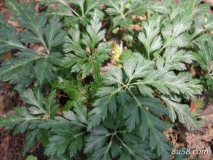 黄连种子播种前需要如何处理?