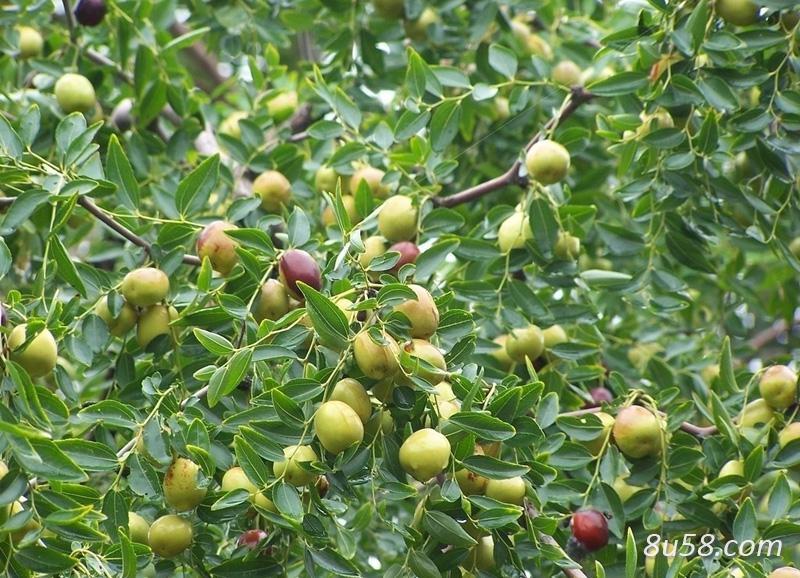 酸枣树苗多少钱一颗?种植一亩酸枣仁需要多少酸枣树苗?