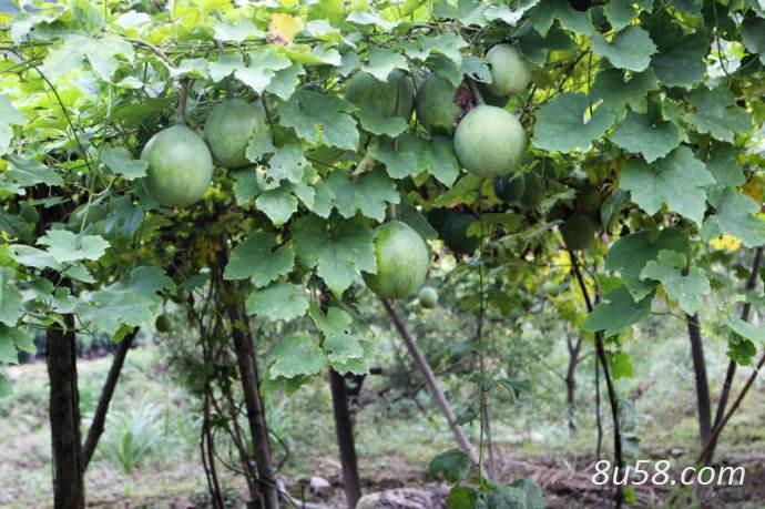 种瓜蒌赚钱吗?瓜蒌种植的利润与投资成本及前景预测