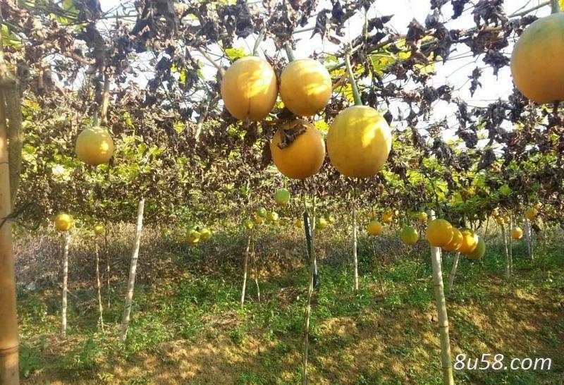 瓜蒌高产种植技术