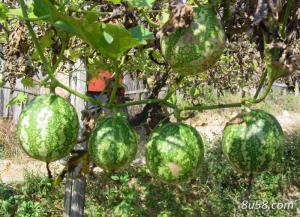 瓜蒌适合在什么样的环境下生长?