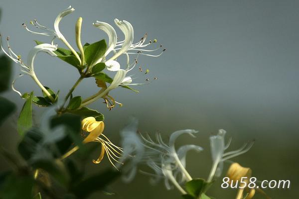 种金银花赚钱吗?金银花种植的利润与投资成本及前景预测