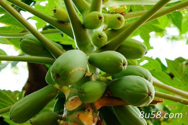 种木瓜赚钱吗?木瓜种植的利润与投资成本及前景预测