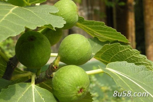 种植无花果赚钱吗?无花果的种植成本和收益及前景分析