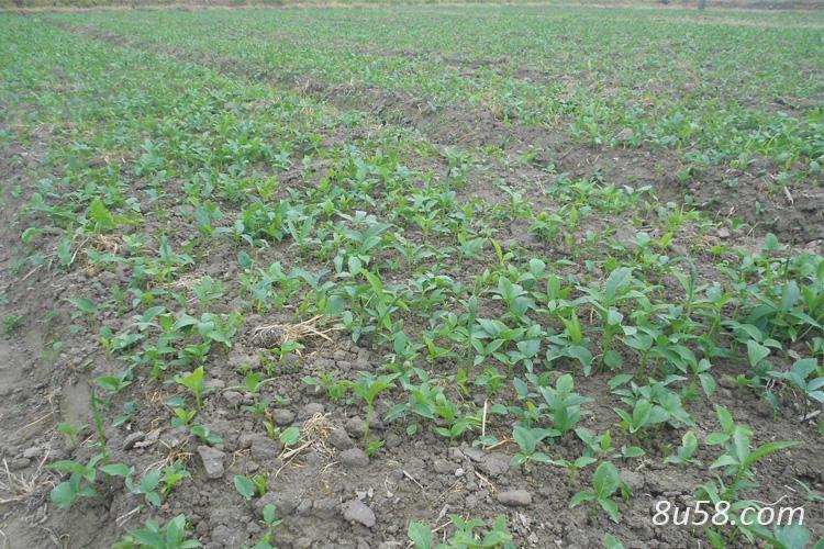 旱半夏一亩地用多少种子