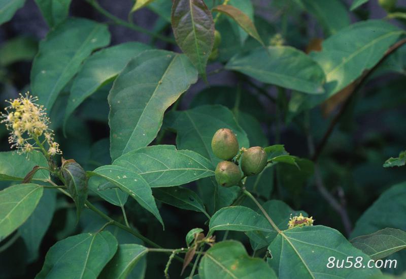 巴豆高产种植技术