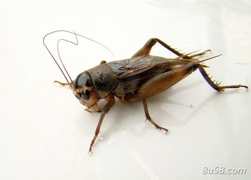 如何捕捉蟋蟀?5种扑捉蟋蟀的方法