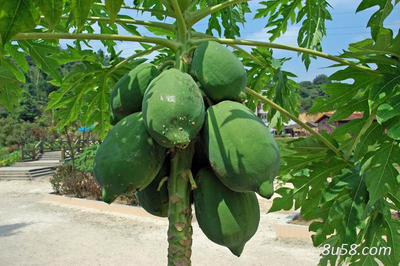 木瓜什么时候成熟?
