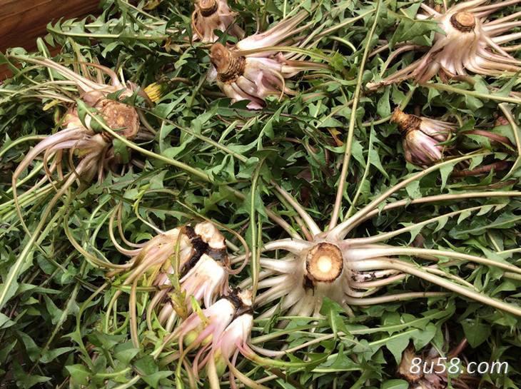 蒲公英种子如何催芽?