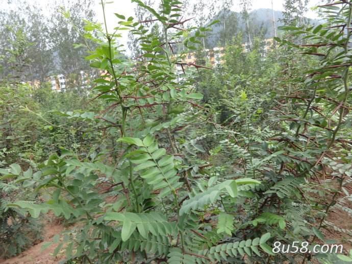 皂角刺树的种植前景分析