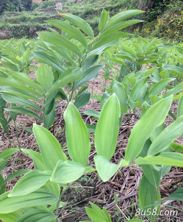玉竹适合什么地方种植?