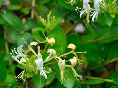 金银花种子几月播种最好?