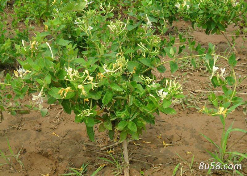 金银花种苗多少钱一颗?种植一亩金银花需要多少株种苗?